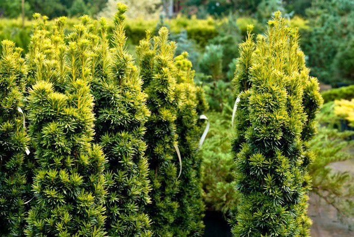 szkółka drzew iglastych