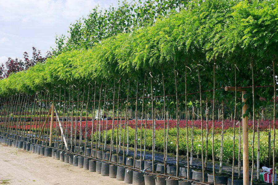 drzewa alejowe szkółka